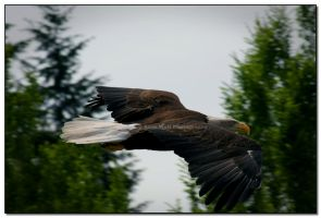 Fly Like An Eagle by LoneWolfPhotography