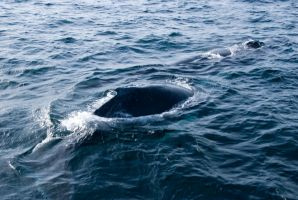 Whales, Two Backs Up Close by Miss-Tbones