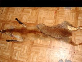 Large male Red Fox pelt- available as softmount by Lot1rthylacine