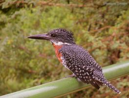 Giant Kingfisher by AfricanLove