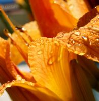 Wet Tiger Lily by FireStump