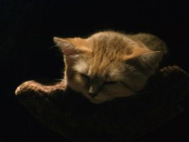 Sand Cat Nap by FicktionPhotography