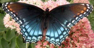 Red Spotted Purple 02 by Thy-Darkest-Hour