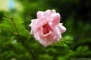 Pink rose 2 by FrancescaDelfino