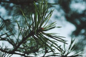 Old Pine by LeaLion
