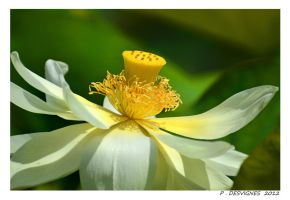 water lilly by bracketting94