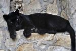 Black Leopard 0250 by robbobert