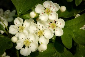 Friendly Hawthorn Blossoms by steppeland