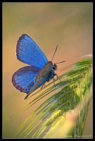 Blue butterfly by Lidija-Lolic