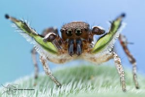 Habronattus calcaratus courtship display by ColinHuttonPhoto