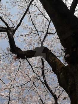 Cherry Blossoms in Tokyo by HeartOfHabren