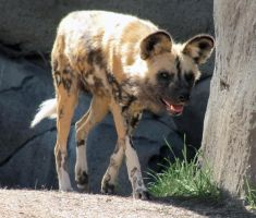 African Painted Dog Stock by TalkStock