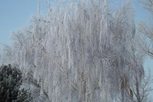 Frost Willow by icelandiahaven