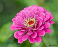 Zinnia by UncleTerry