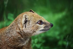 Yellow Mongoose by Sabbie89