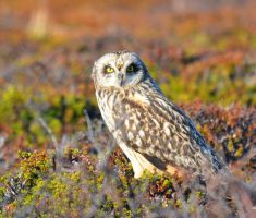 Short-eared Owl by nordfold