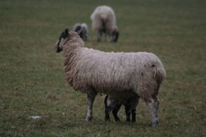Three-Legged Sheep by tammyins