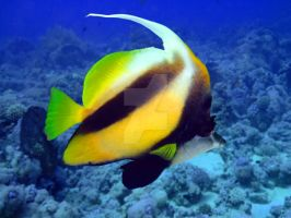 Butterfly fish by MotHaiBaPhoto