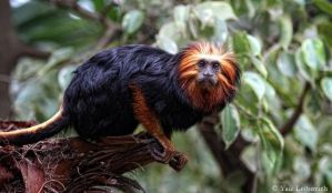 golden-headed lion tamarin 2 by Yair-Leibovich