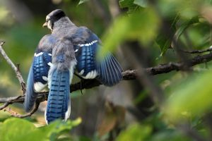 The Baby Jay by clippercarrillo