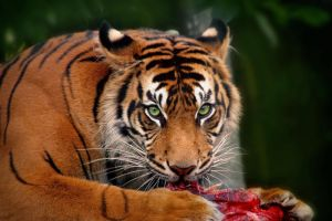 Sumatran Tiger by jemapellenicoletta