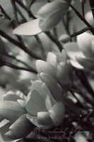Blossoms Black and White by JessicaOssa
