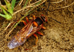 Giant Cicada Killer Wasp 2 by natureguy