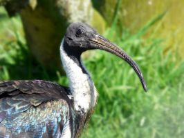 Straw-necked Ibis by April-Snowflake
