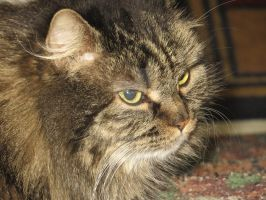 Maine Coon Cat by Charlief43
