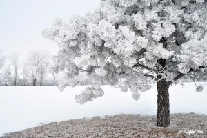 Snowball Tree by CrystalAnnPhotos