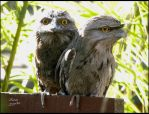 Tawny frogmouth owl by Buble