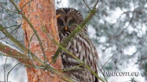 Ural Owl (Strix uralensis) by BirdCom