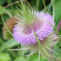 Common teasel by Jorapache