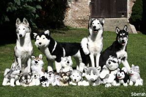 My pack of huskies by Siberiah
