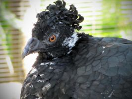 Female Yellow-Knobbed Curassow by HDevers