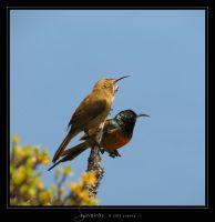 Sunbirds by Crooty