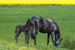 Om nom nom - Foal snacking tail - Stock 3 by LuDa-Stock