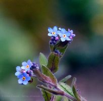 Forget Me Not by FreyaPhotos