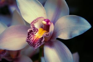 Orchid in winter by desmo100