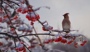 mountain ash by fly10