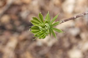 Budding leaves on unknown tree 2 by greyrowan