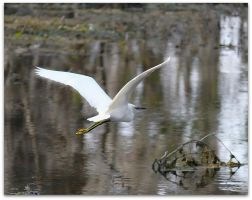 Snowy Egret by SalemCat