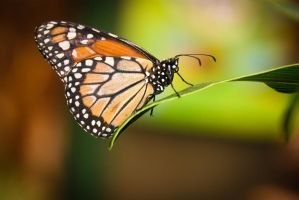 Monarch by stinebamse