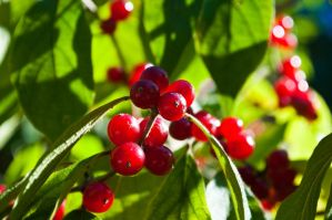 Fall Berries by Chris-Conway
