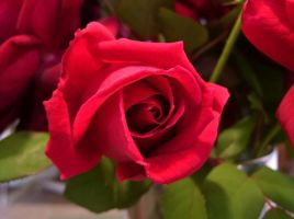 .Roses.. by LunarChaotic