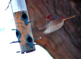Male House Finch Landing by Resaturatez