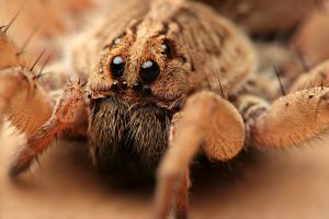 wolf spider by knold