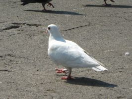white lady pigeon by Guardian-of-Nature