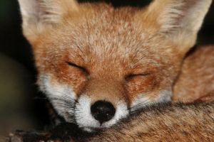 Fox Close Up by FrankWolfePhotograph