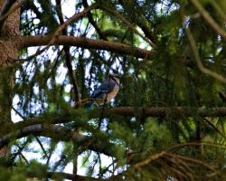 Blue Jay 7 by Noble-Kenshi